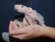 Остановите свой выбор на крысе-сфинксе. Эти крысы - очень умные животн