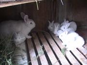 Племенной молодняк кроликов породы НЗБ