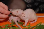 Крыска сфинкс,  крыса,  крысята бежевые голенькие
